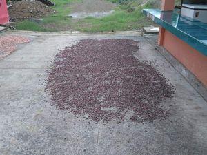 Séchage des fèves de cacao au soleil