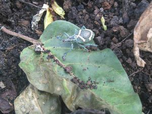 Quelques bestioles rencontrées lors du plantage des cacaoyers