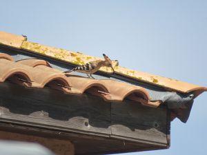 La Huppe fascié, un superbe oiseau.