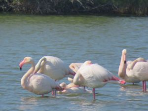 Des Flamants rose.
