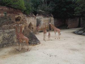 Nourrissage des girafes (crédits photos G Després)