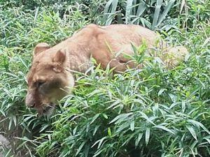 Nettoyage du bâtiment des lions après leur sortie (crédits photos G Després)