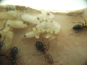Les petites Camponotus lateralis...à la bouffe !
