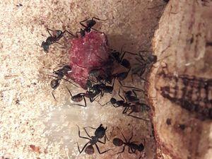Une de mes Camponotus préférée et qui m'a donné beaucoup de fil a retordre, les cruentatus