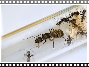 Les noirs et or d'Asie, une autre colonie d'éxotique, mes Camponotus dolendus.