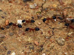 Les Australiennes....mes Camponotus nigriceps et Camponotus consobrinus