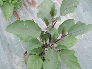 Aubergines et poivrons se développent. Récolte prévue début juillet.