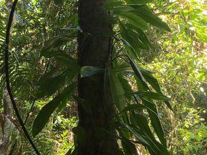 Se promener sous la canopée et admirer les fougères majestueuses et plantes tropicales saprophytes ou épiphytes des grands arbres.