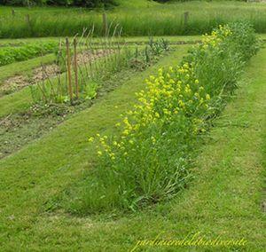 Cultiver les engrais verts