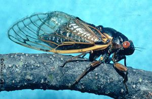 Emergence of Periodical Cicadas in Iowa