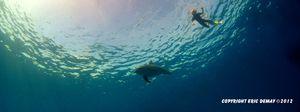 Nager avec les dauphins (Vidéo)