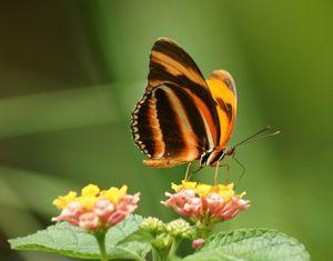 Chenille ou Papillon ?