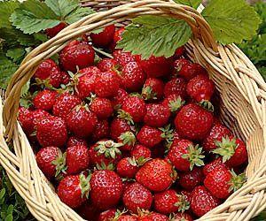 A la cueillette des premières fraises...