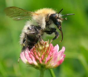 Abeilles sentinelles et indicateur de biodiversité ?