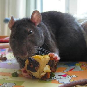 Le rat, le gâteau et la cocaïne