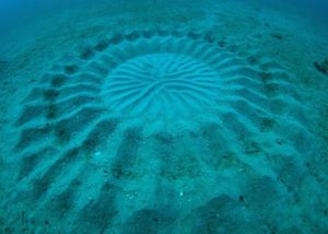 Role of Huge Geometric Circular Structures in the Reproduction of a Marine Pufferfish