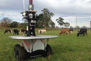 En Australie les vaches sont surveillées par des robots