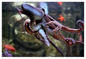faune : céphalopodes : octopodes (poulpes...)