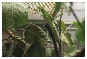 faune : insectes : phasmoptères