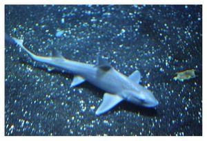 faune : chondrichtyens : Carcharhiniformes (requin marteau, roussette ...)