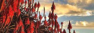 Fleur séculaire
