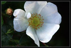 Les roses d'Aquarelles..