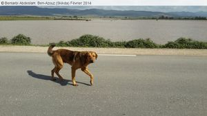 Quai...Un chien en pleine zone humide de Ben-Azouz (Skikda)