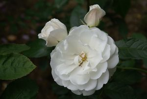 Répertoire des rosiers du jardin
