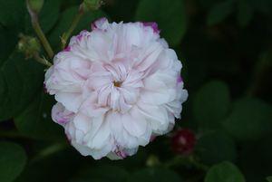Une rose, un jour : Léda