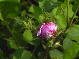 Nouveauté : Rosa centifolia cristata