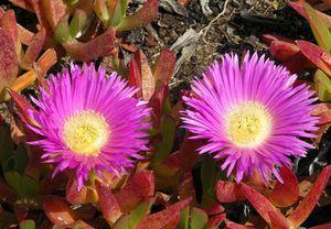 Flore du Chili : Plantes fleuries