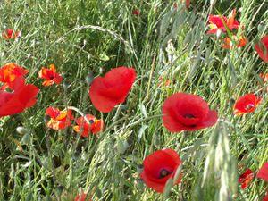 Poppies in fields of Lorraine