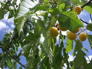 White cherries saved
