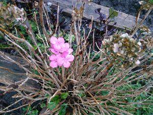 21 janvier 2014 : des fleurs dans mon jardin ! Est-ce bien normal ?