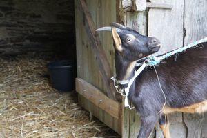 Les chèvres: polyvalents ces petits ruminants!