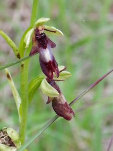 Ophrys insectifera ou Ophrys mouche