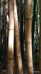 Au royaume des bambous,