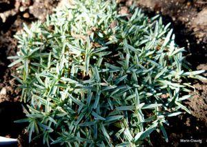 Dianthus Babi Lom