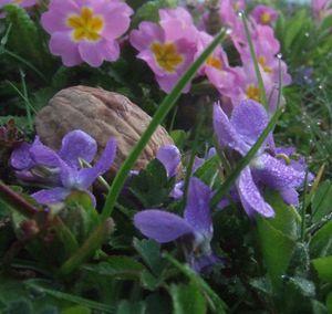 violettes et primevères odorantes