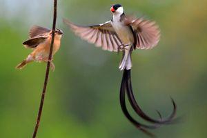 L'oiseau de la semaine (10-16 juin 2013) - Euplecte à Dos d'Or