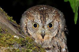 Conférence oiseaux nocturnes et sortie Hibou Petit Duc