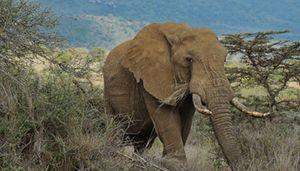 RDC: Trente Eléphants tués en quinze jours par des braconniers dans le parc de la Garamba