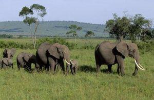 Le trafic d'ivoire en Afrique très concentré et contrôlé par quelques barons
