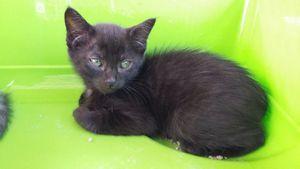 Jahleel, chaton femelle noire, à adopter -&gt&#x3B; adoptée