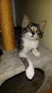 Junon, chaton femelle à poils mi longs, à adopter -&gt&#x3B; adoptée