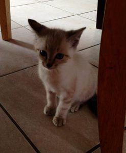 Jobi, chaton mâle type siamois, à l'adoption -&gt&#x3B; adopté