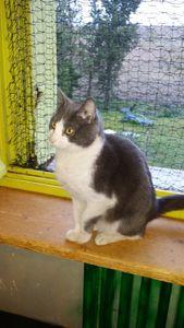 Bandit, jeune chat mâle, à l'adoption -&gt&#x3B; adopté