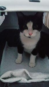 Lucette, chaton femelle, à l'adoption &gt&#x3B; adoptée