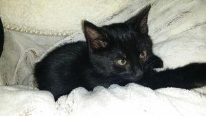 Cosmic, chaton mâle noir, à l'adoption -&gt&#x3B; adopté