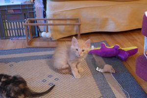 Louis, chaton mâle roux, à l'adoption -&gt&#x3B;  adopté
